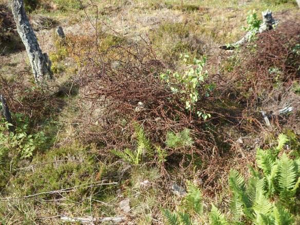 Le Linge barbed wireSAM_0431