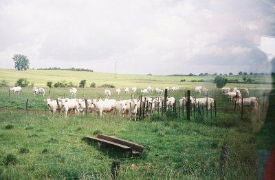 Steve cow stampede